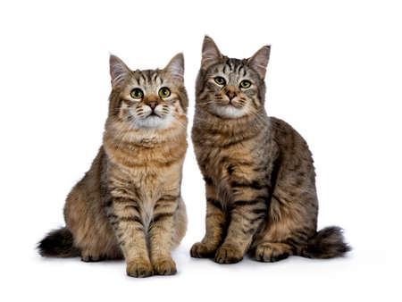 Duo or two pixie bob cat kittens sitting and looking straight at camera