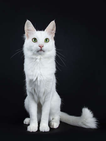 Solid white Turkish Angora cat with eyes sitting facing front with side view of camera Stockfoto