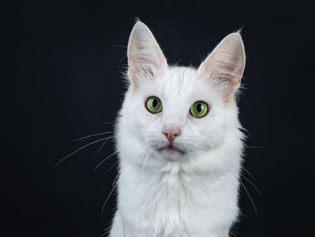 Head shot of solid white Turkish Angora cat with green eyes isolated on black background looking at camera