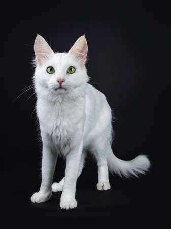 Solid white Turkish Angora cat with green eyes standing looking at camera