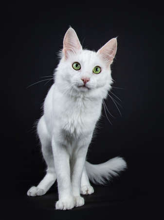 Solid white Turkish Angora cat with green eyes standing isolated on black background looking curiously at camera