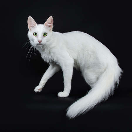 Solid white Turkish Angora cat with green eyes walking side ways isolated on black background looking straight into camera with tail hanging down Stockfoto