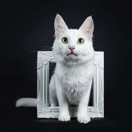 Solid white Turkish Angora cat with green eyes sitting throught white photo frame isolated on black background looking from above camera