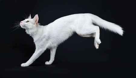 Solid white Turkish Angora cat with green eyes jumping  landing side ways isolated on black background looking up Stockfoto