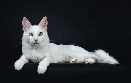 Solid white young turkish Angora cat with green eyes laying down on a white background looking at camera