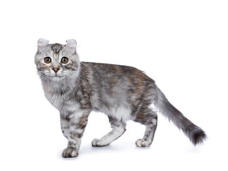 Smiling silver tortie American Curl cat kitten walking on white background and looking at lens Stockfoto