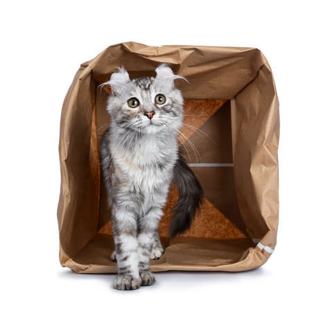 Smiling silver tortie American Curl cat kitten standing with backside in paper storage bag facing camera isolated on white background and looking at lens Stockfoto