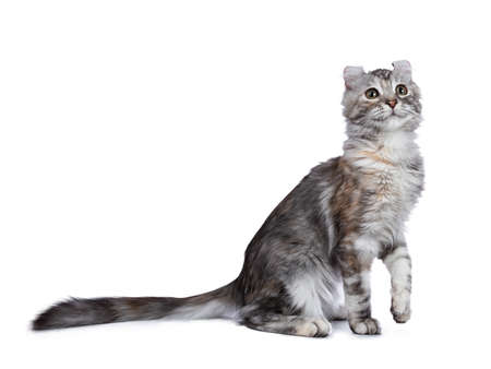 Smiling silver tortie American Curl cat sitting on the floor and looking up, isolated on white background with one paw lifted in air and looking up Banco de Imagens