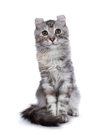 Smiling silver tortie American Curl kitten sitting straight up facing camera isolated on white background and looking in lens