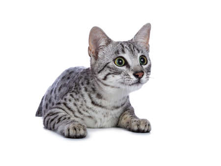 Very focussed cute silver spotted Egyptian mau cat sitting  hanging over edge isolated on white background ready to jump and catch something