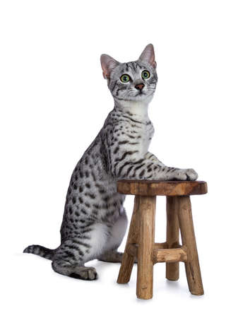 Cute silver spotted Egyptian Mau cat sitting in front of pawson with a small wooden stool isolated on white background and looking up Stockfoto