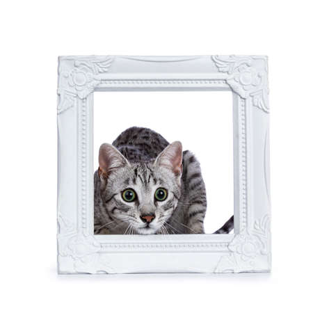 Very focussed cute silver spotted Egyptian mau cat kitten sitting in  behing white picture frame isolated on white background Stockfoto