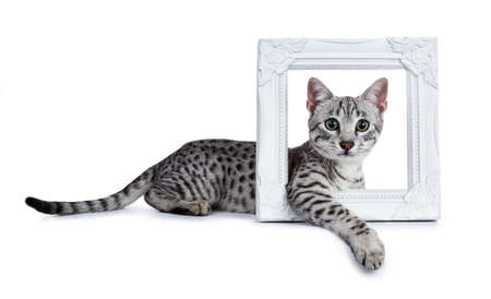 Cute silver spotted Egyptian mau cat kitten laying side ways with front paw looking through a white picture frame isolated on white background and looking at camera with mesmerizing green eyes