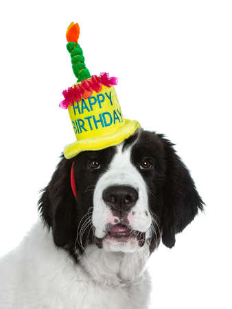 Head shot of black and white Landseer puppy wearing a bright colored happy birthday hat isolated on white background