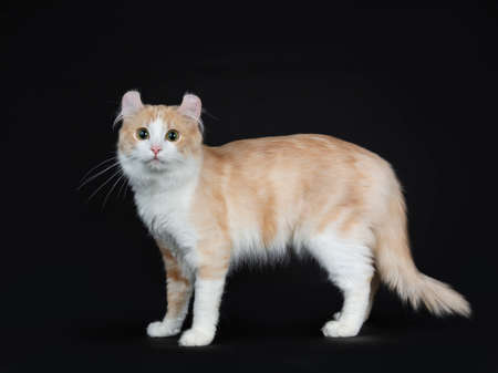 Cream with white adult American Curl cat standing side ways on black background Stockfoto