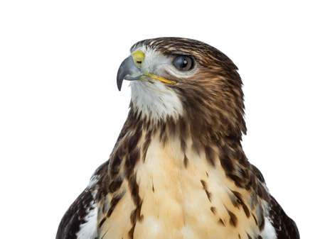 Head shot or Buzzard isolated on white background and looking to the side with half closed eye member Stockfoto