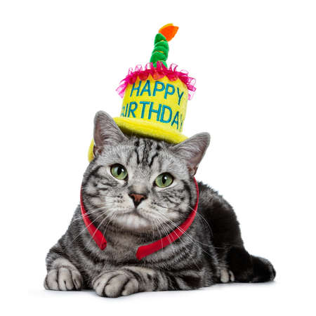 Handsome black tabby British Shorthair cat with green laying down wearing a yellow happy birthday hat isolated on white background Stockfoto