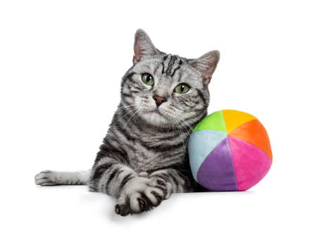 Handsome black tabby British Shorthair cat with green eyes laying down with colorful toy ball from sorbent material looking at lens isolated on white background with paw making air biscuits