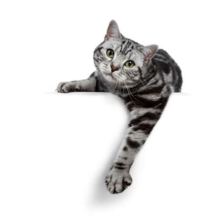Handsome black silver tabby British Shorthair cat laying down  hanging over edge isolated on white background and looking straight into the lens