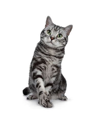 Handsome black silver tabby British Shorthair cat sitting  playing with one paw lifted isolated on white background and looking up