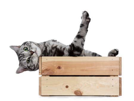 Handsome black silver tabby British Shorthair cat hanging backwards over edge in wooden box isolated on white background and looking at camera