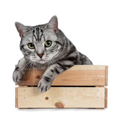 Handsome black silver tabby British Shorthair cat hanging curiously over edge in wooden box isolated on white background and looking at camera