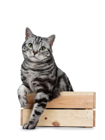 Handsome black silver tabby British Shorthair cat sitting in front of wooden box with paws outside and looking at camera