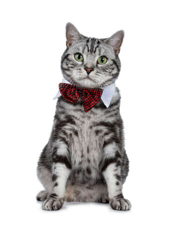 Handsome black silver tabby British Shorthair cat sitting straight up isolated on white background and looking at camera wearing a gala party white collar with red tie bow Stockfoto