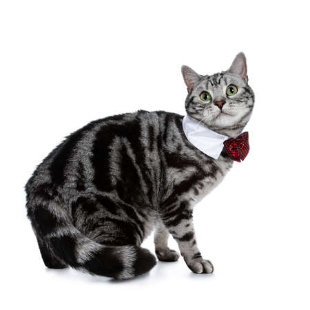 Handsome black silver tabby British Shorthair cat walking on white background and looking at camera wearing a gala party white collar with red tie bow Stockfoto