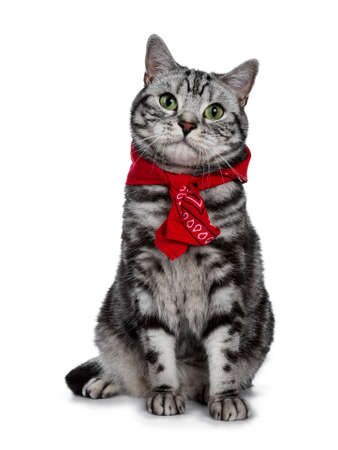 Handsome black silver tabby British Shorthair cat sitting straight up wearing a typical Dutch peasant handkerchief around his neck isolated on white background and looking at camera Stockfoto