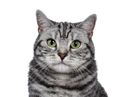 Head shot of handsome black silver tabby British Shorthair isolated on white background and looking at camera