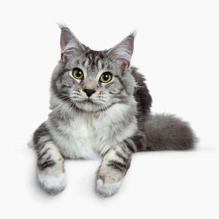 Pretty young adult black silver tabby Coon cat laying down isolated on white background, looking at the lens with paws over edge Stockfoto
