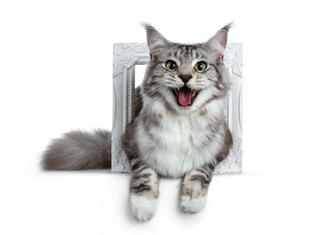 Pretty smiling young adult black and white tabby Maine Coon cat laying in a white isolated on white background