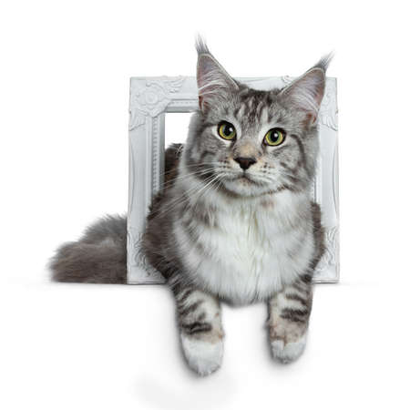 Pretty young adult black and white tabby Maine Coon cat laying in a white isolated on white background, looking at the lens with paws over edge