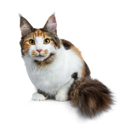 Head shot of sweet pretty tortie young adult coon girl laying down on white background looking at camera with big tail beside body
