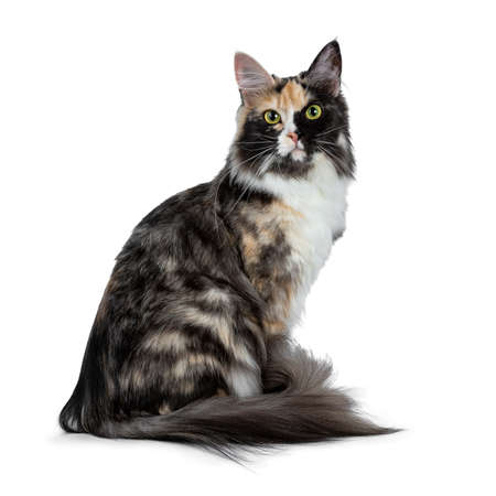 Beautiful black smoke tortie Maine Coon sitting on a white background looking straight into lens Stockfoto