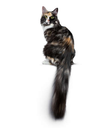 Beautiful black smoke tortie Maine Coon cat sitting backwards isolated on white background looking over shoulder into lens