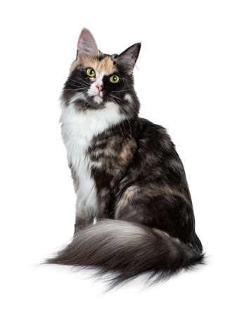 Beautiful black smoke tortie Maine Coon sitting on a white background looking next lens Stockfoto