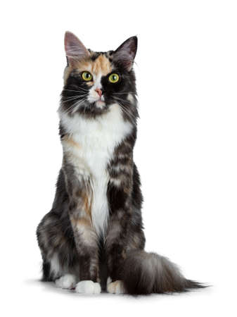 Beautiful black smoke tortie Maine Coon cat looking straight up isolated on white background looking straight into lens