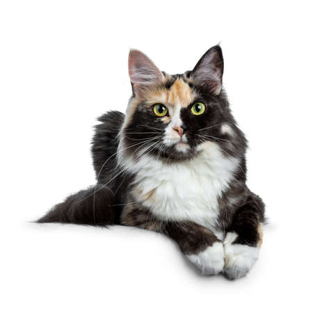 Beautiful black smoke tortie Maine Coon isolated on white background with two paws over edge and looking straight into lens Stockfoto