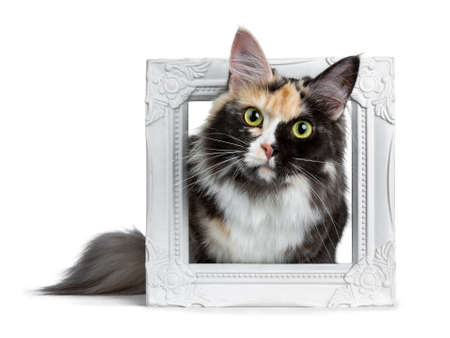 Beautiful black smoke tortie Maine Coon cat girl laying in white picture frame isolated on white background looking straight into lens Stockfoto