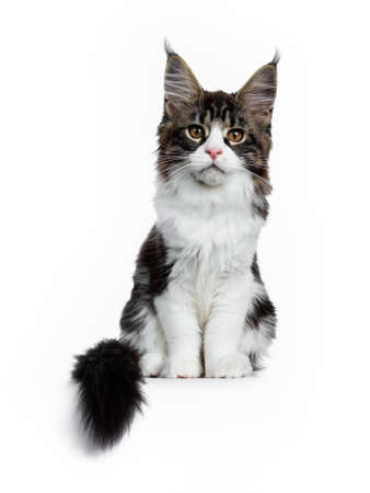 Beautiful black brown tabby with white coon cat kitten sitting straight with tail, looking straight into lens isolated on white background