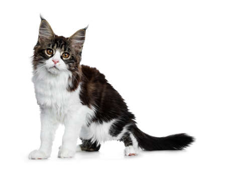 Beautiful black brown tabby with white coon cat kitten standing side ways, looking straight into lens isolated on white background Stockfoto