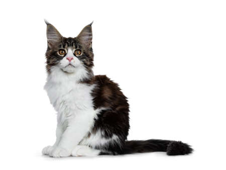 Beautiful black brown tabby with white coon cat kitten sitting side ways with tail behind body, looking straight into lens isolated on white background