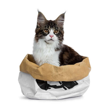 Beautiful black brown tabby with white coon cat kitten sitting in paper bag, looking to the side isolated on white background