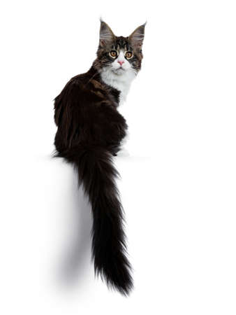 Beautiful black brown tabby with white coon cat kitten backwards with tail haging down over edge, looking over shoulder straight into lens isolated on white background