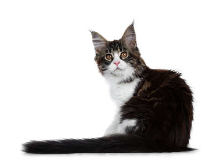 Beautiful black brown tabby with white coon cat kitten backwards with tail next to body, looking over shoulder straight in lens isolated on white background