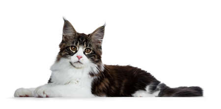 Beautiful black brown tabby with white coon cat kitten laying side ways, looking straight into lens isolated on white background