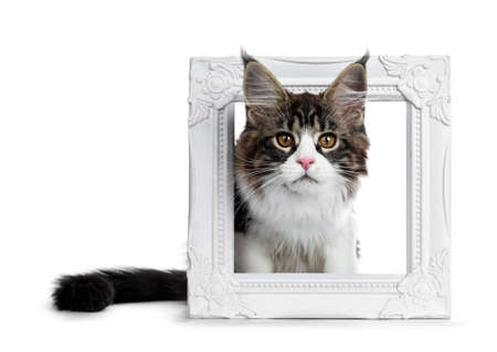 Beautiful black brown tabby with white coon cat kitten, sitting in front of a white picture frame, looking straight at lens isolated on white background