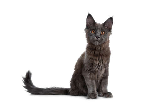 Very cute solid blue coon cat kitten sitting up with tail beside body, looking curious at camera isolated on white background